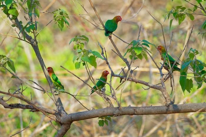 Lilians Lovebird, Africa shutterstock_1636755079.jpg