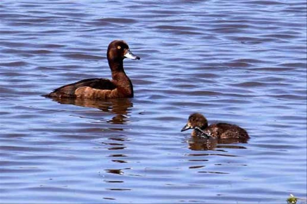 Tufted Duck (Peter Dunn)