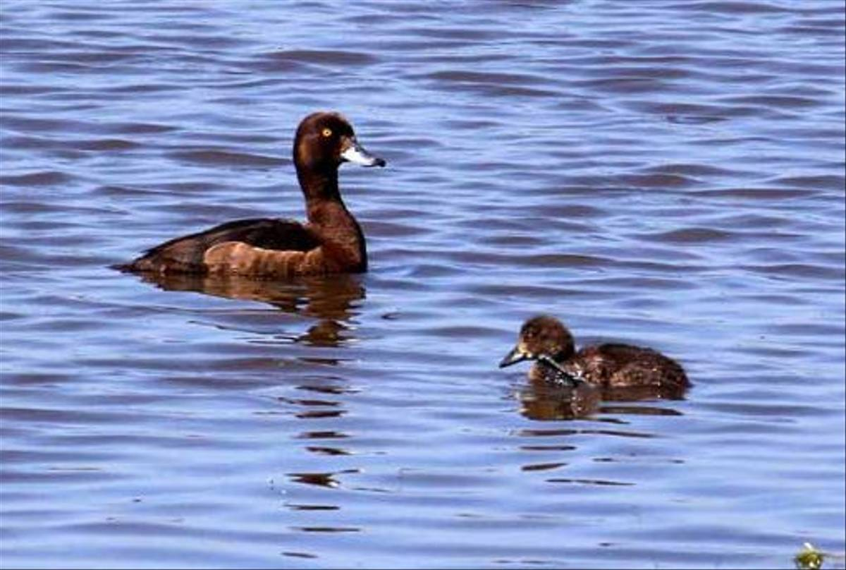Tufted Duck (Peter Dunn)