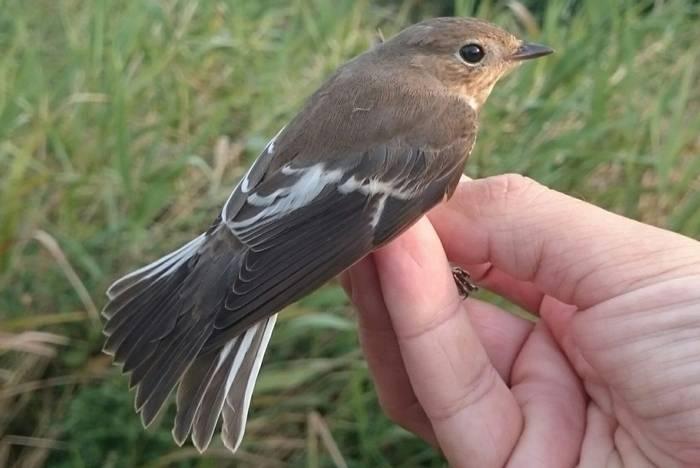Pied Flycatcher - John Horton