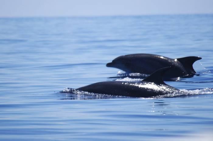 Bottlenose Dolphins (Ed Drewitt)