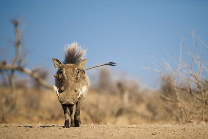 Warthog, Botswana shutterstock_753162913.jpg
