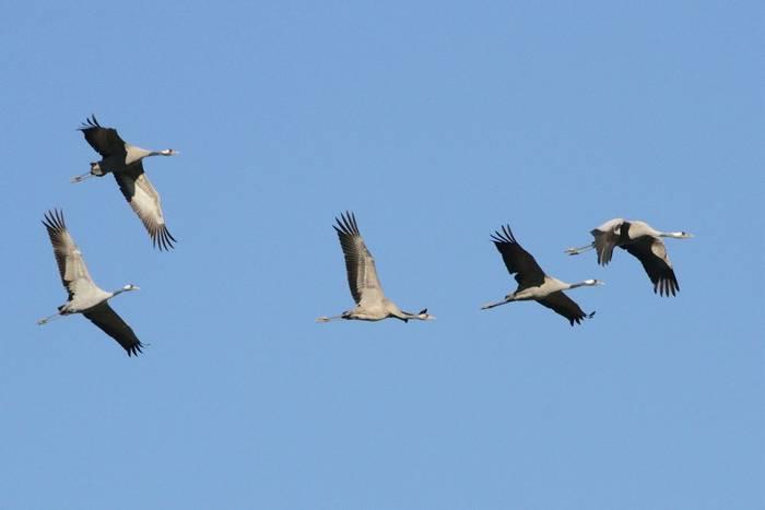 Common-Cranes.jpg