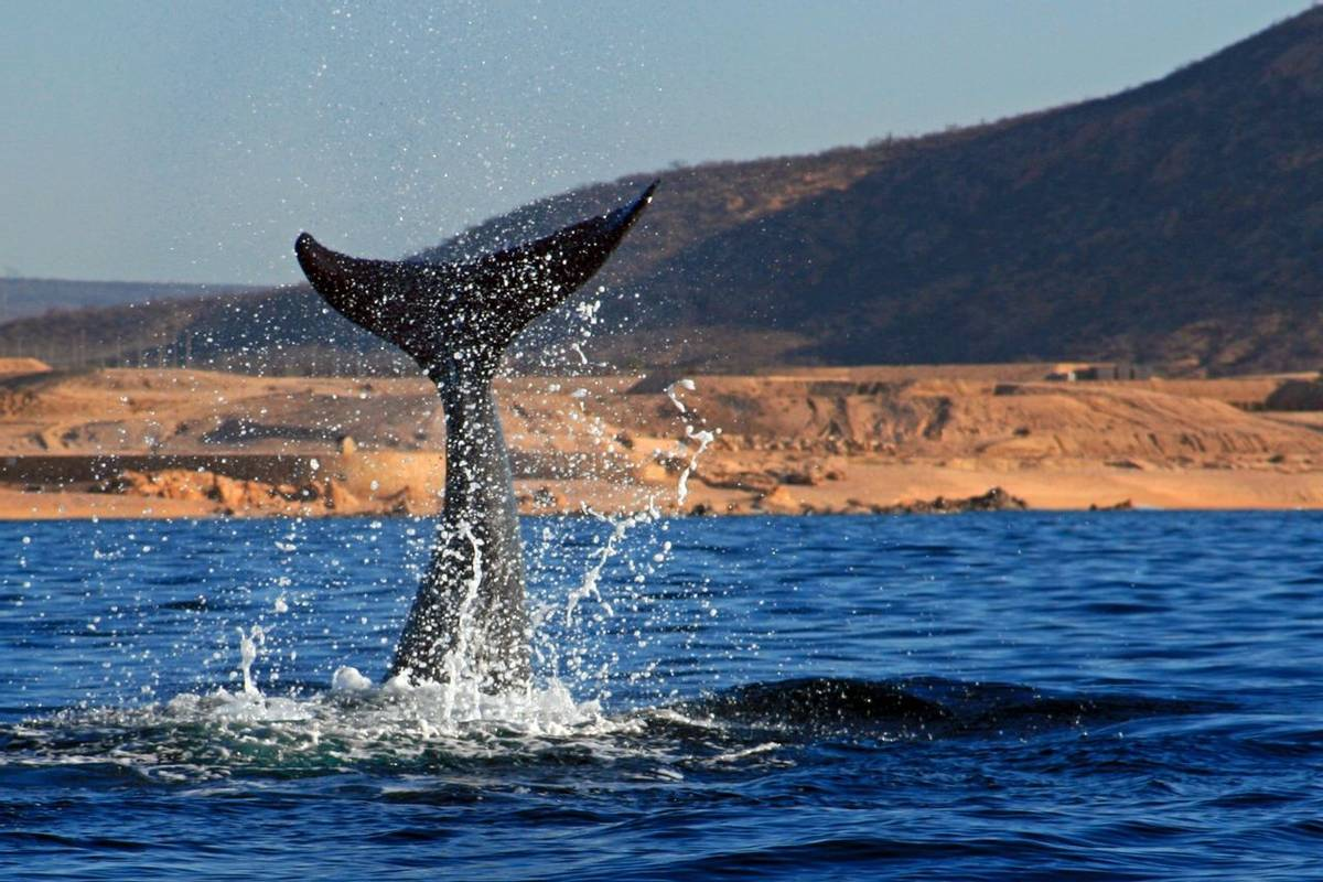 Whale, Baja California Shutterstock 661705972