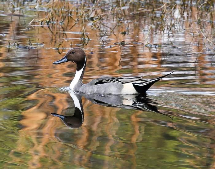 Pintail - Koladeo Reserve  (Neil Pont)