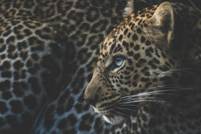 Leopard (John Haskew).jpg