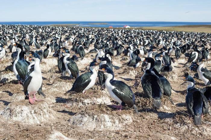 Imperial Cormorant colony, at Bleaker Island, Falkland Islands shutterstock_338343437.jpg