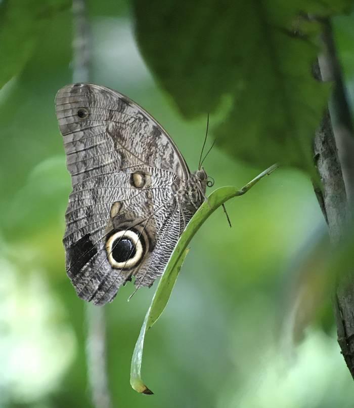 Owl Butterfly (Richard Bashford)