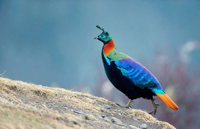 Himalayan Monal, Nepal  shutterstock_486037258.jpg