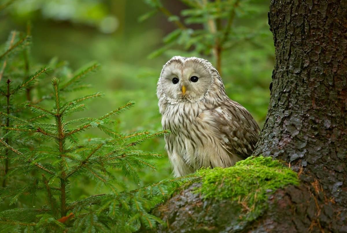 Ural Owl Shutterstock 1130120108