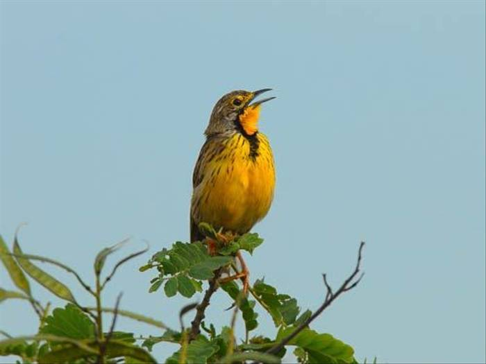 Yellow-Throated Longclaw (David Mercer)