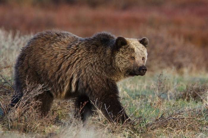 Brown Bear, USA Shutterstock 109777856
