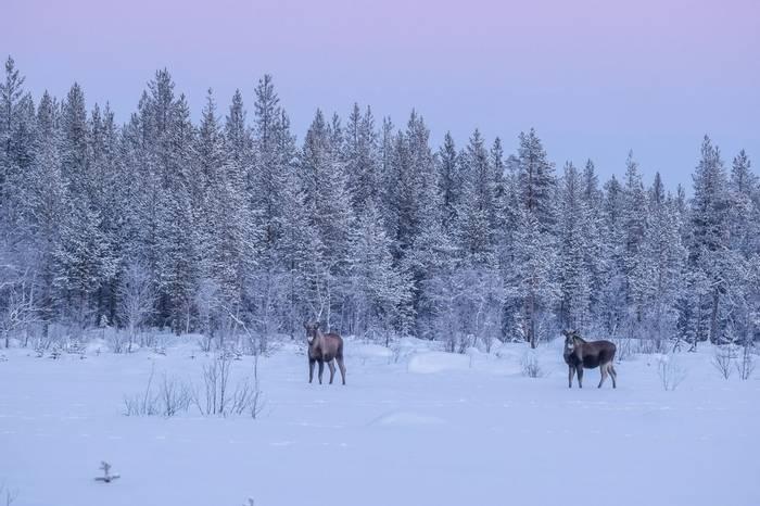 Moose (Ann Miles)