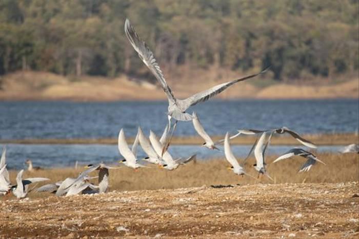 River Terns (David Raju)