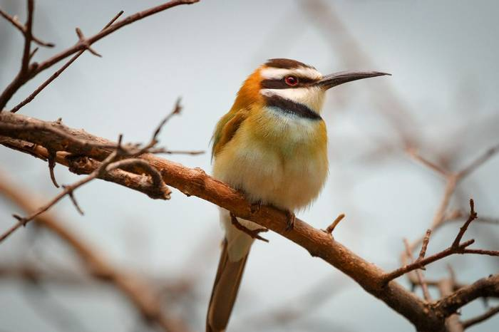 White Throated Bee Eater Shutterstock 241169902