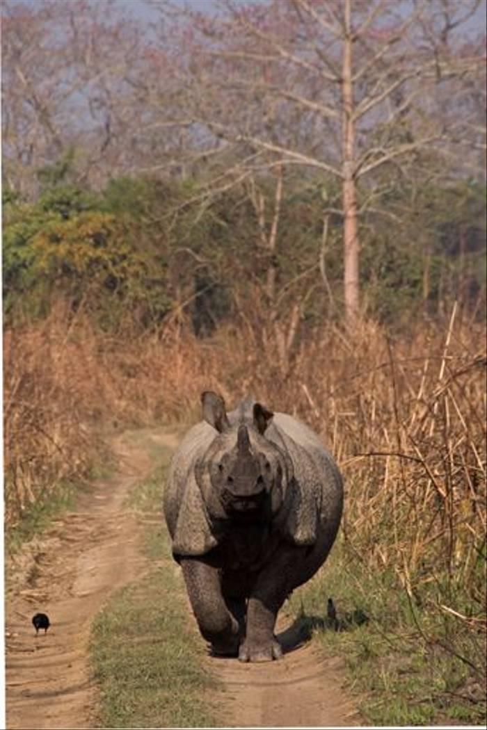 Indian One-horned Rhinoceros in Chitwan (Paul Stanbury)