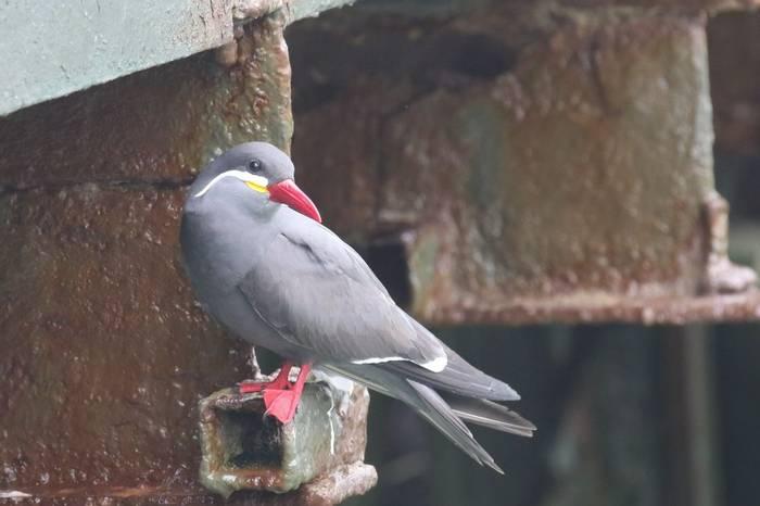 Inca Tern (Andrew Lapworth).jpg