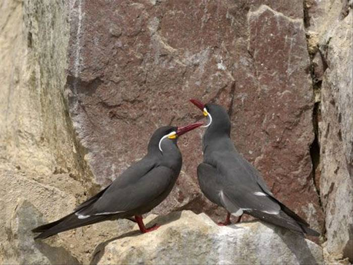 Inca Tern (Peter Price)