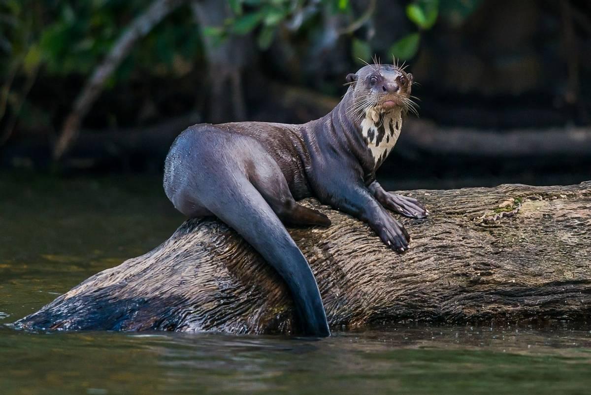 Giant River Otter shutterstock_164389889.jpg