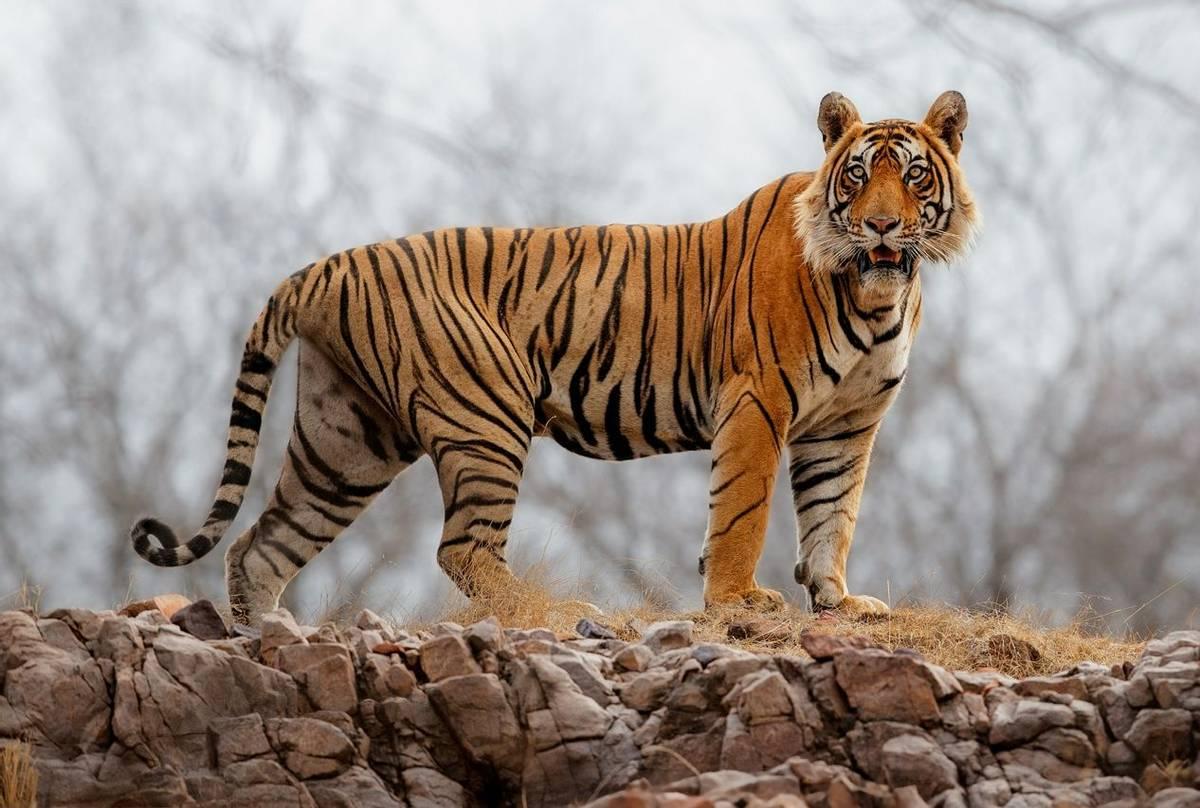 Tiger,-Ranthambhore,-India-shutterstock_658154572.jpg