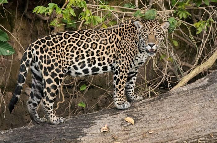Jaguar (Tim Melling)