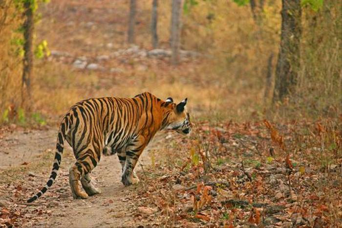 Tiger (David Raju)