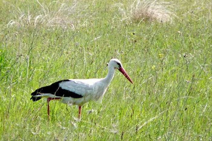White Stork at Lange Lacke (Dave Smallshire)