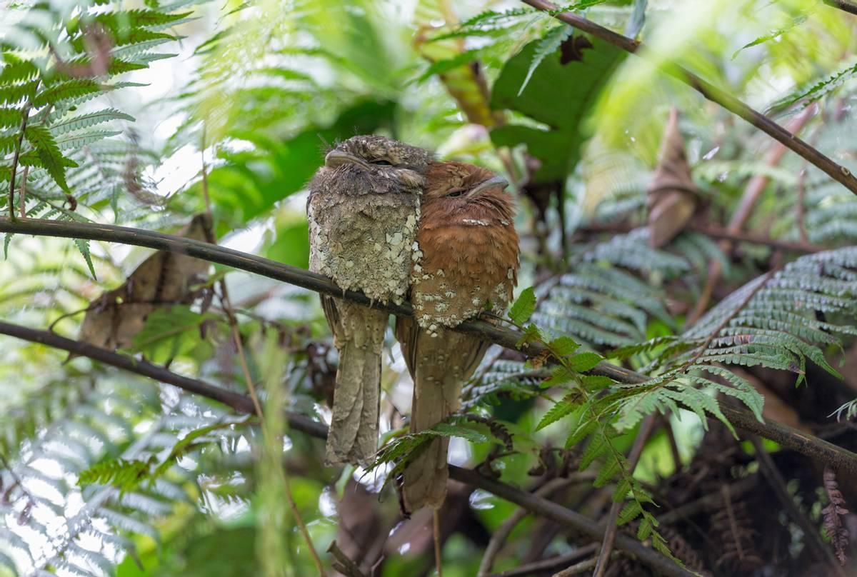 Sri Lankan Frogmouths (Tom Ambrose)