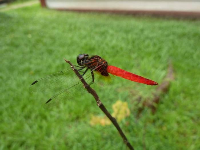 Scarlet Marsh Hawk, Aethriamanta brevipennis (Steve Dutmer)