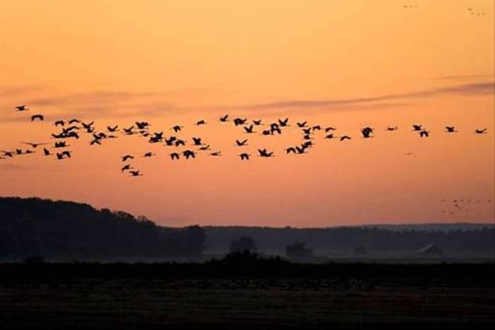 Common Cranes (Daniel Green)