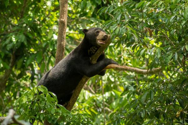 Sun Bear, Borneo Shutterstock 795019435
