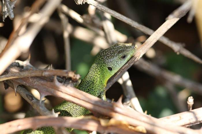 Green Lizard (Gerald Broddelez)