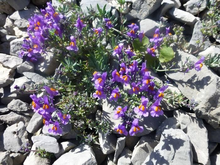 Linaria alpina (Alpine Toadflax) (Kerrie Porteous)