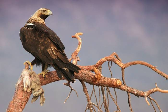 Spanish Imperial Eagle. Shutterstock 148068986