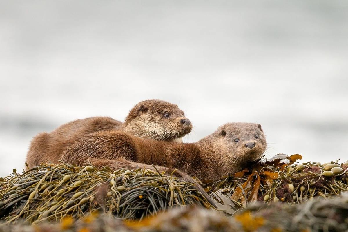 Otters Scotland Shutterstock 361574771