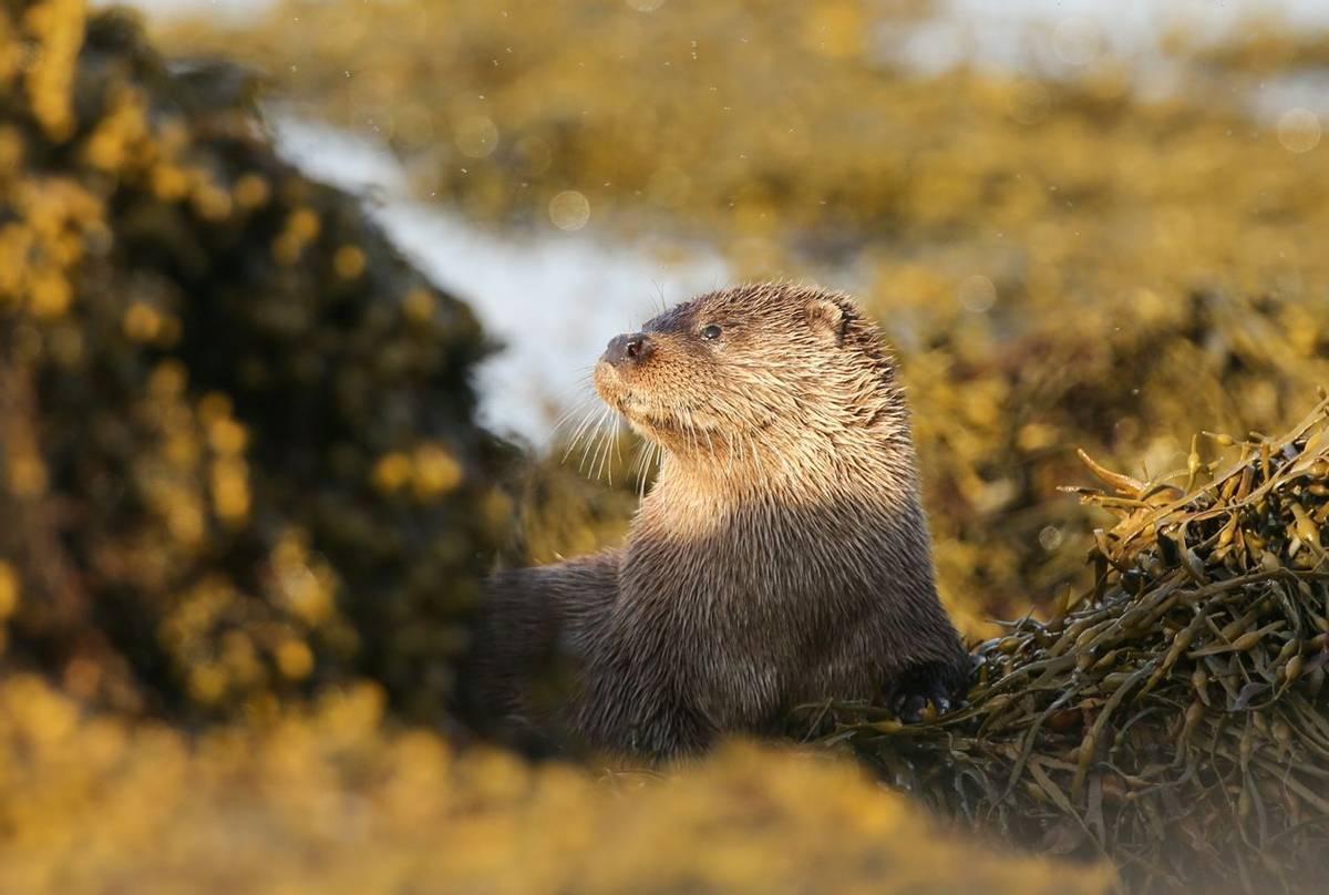 Otter, Scotland Shutterstock 1016646304