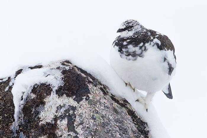 Ptarmigan (Robert Harvey)