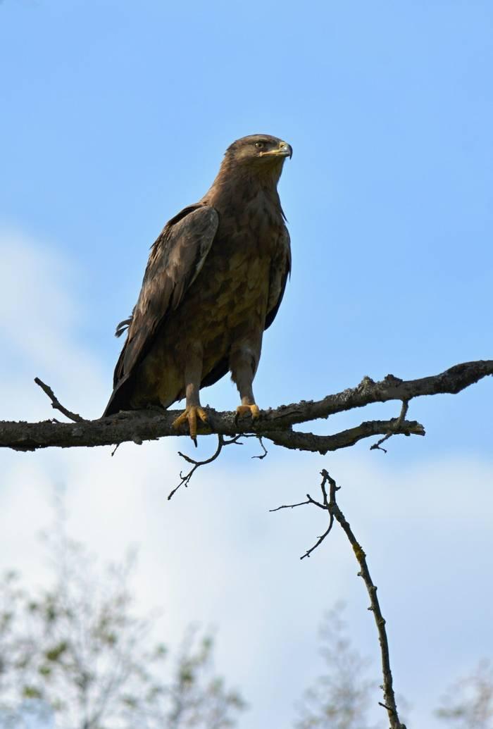 Lesser Spotted Eagle, Martin Hrouzek