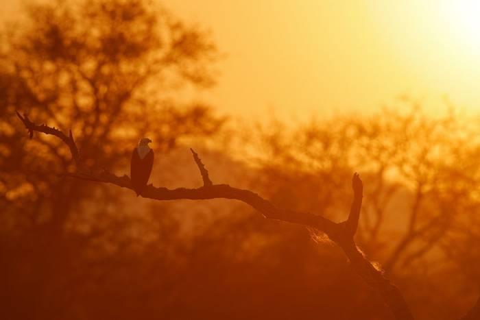 African Fish Eagle, Mana Pools National Park, Zimbabwe shutterstock_1540059791.jpg