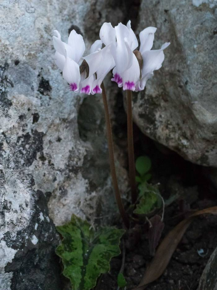 Cyclamen cyprium (Lisa Williamson)