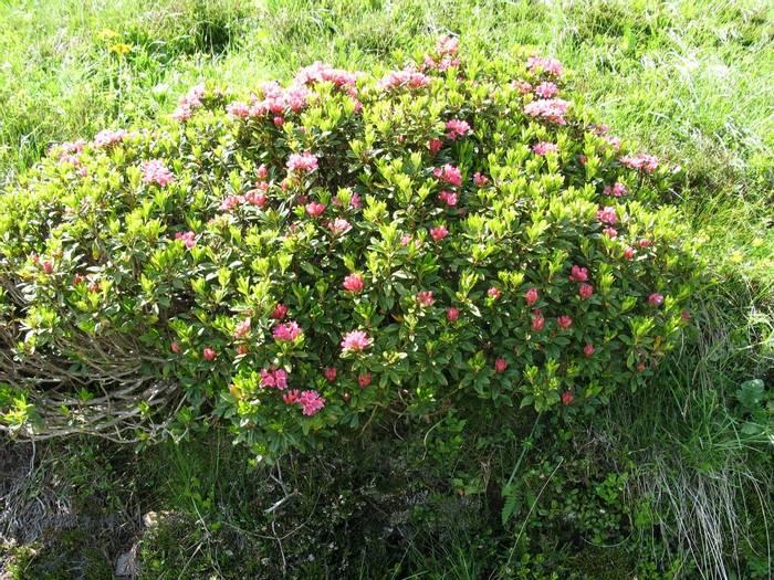 Rhododendron ferrugineum (Steph Warburton)