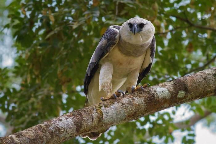 Harpy Eagle (Tom Ambrose)
