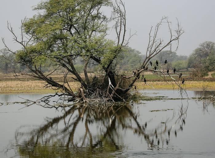 Indian Cormorants - Koladeo Reserve (Neil Pont)
