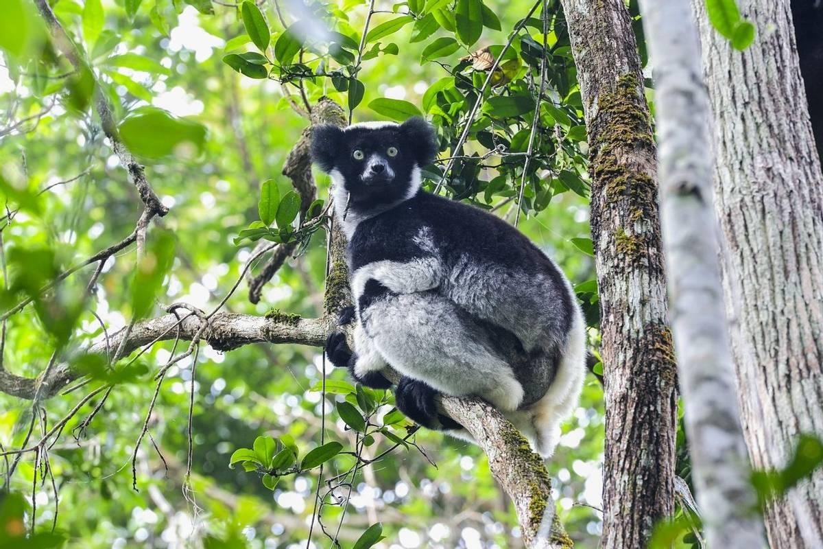 Madagascar (Indri)