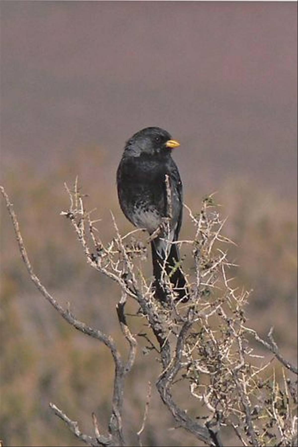 Band-tailed Sierra-finch (John Caddick)