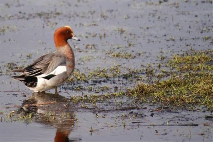 Male Wigeon