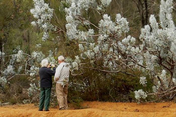 Naturetrek clients with a Shrubby Mottlecah at Dryandra (Peter Taylor)