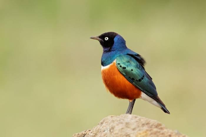 Superb Starling, Kenya. Shutterstock 158832464