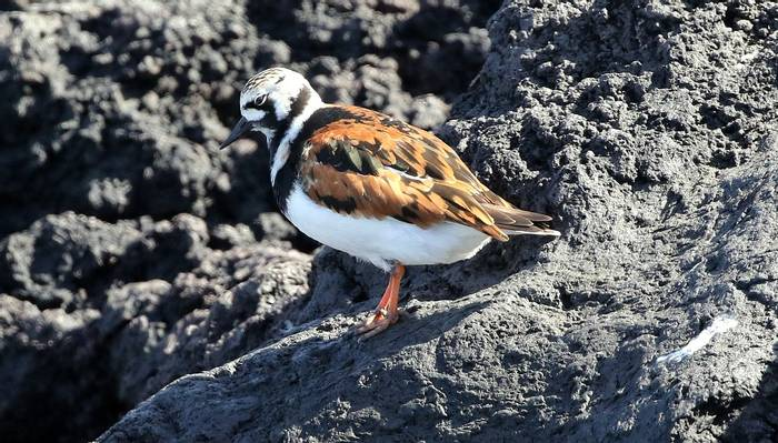 Turnstone (Tom Brereton)