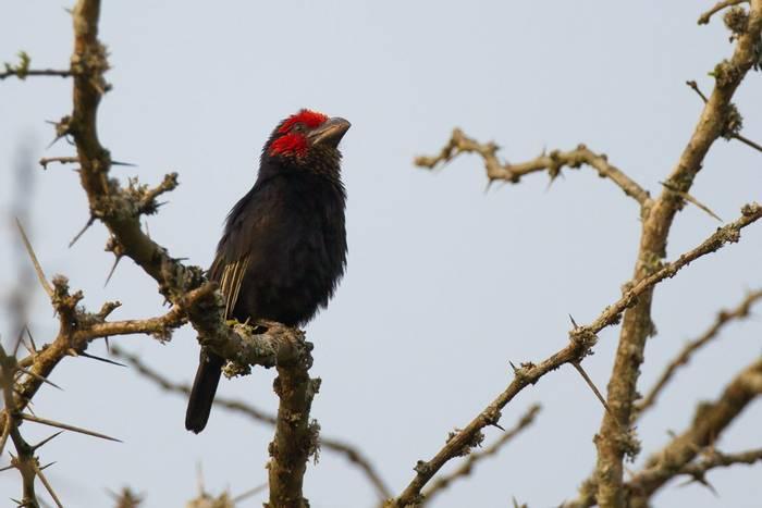 Red-faced Barbet, Rwanda shutterstock_1029611560.jpg